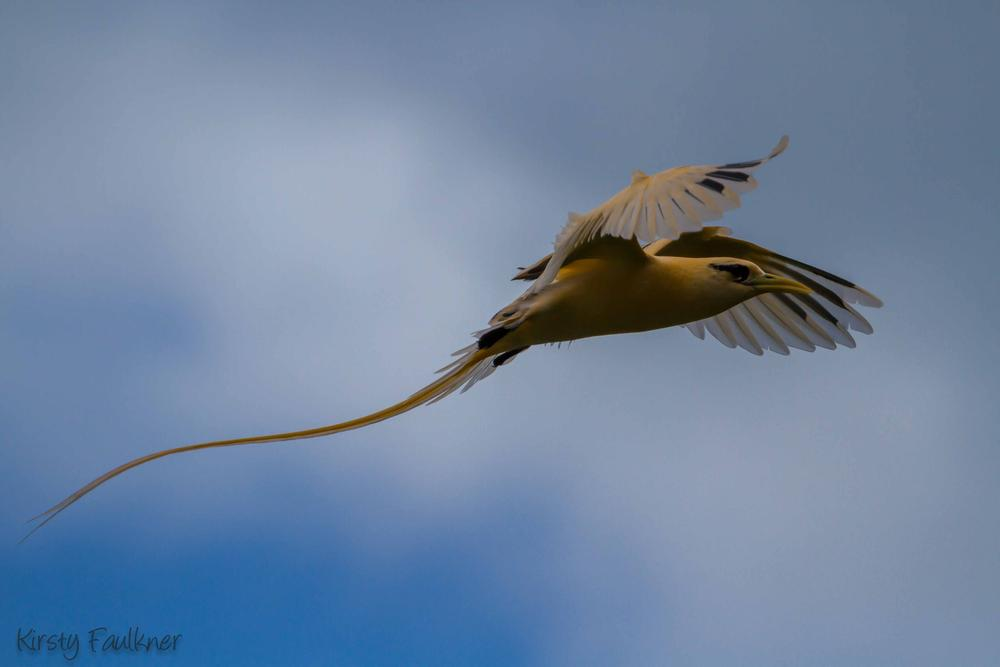 Photo in Animal #christmas island #golden bosun #bird #white-tailed tropic bird #morph