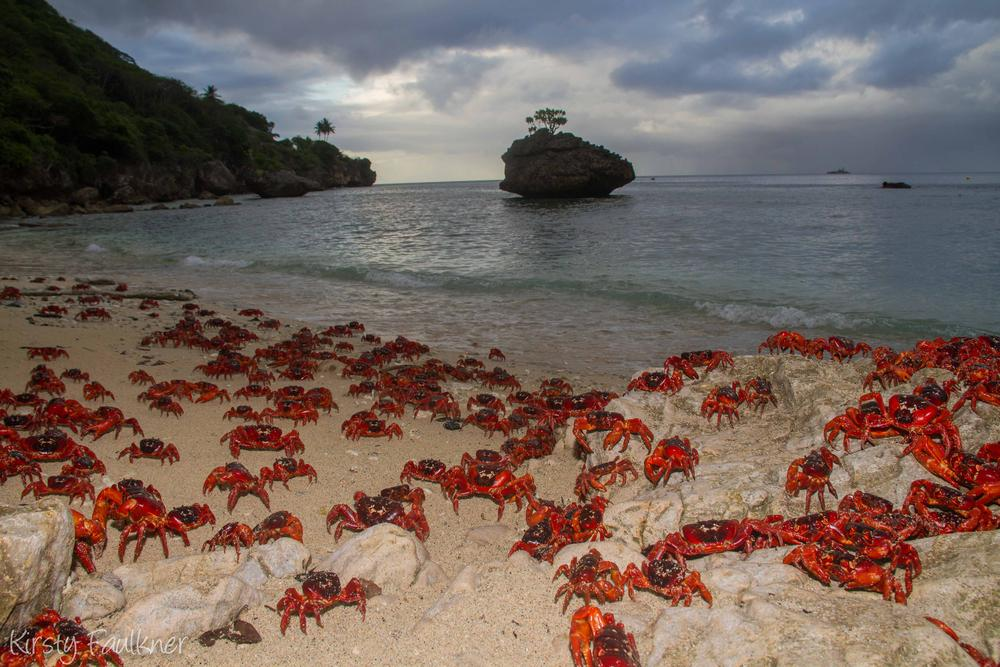 Red Crab Migration - Christmas Island by Kirsty Faulkner