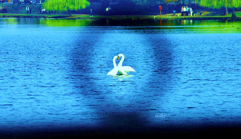 Swan n love, Lake Park, Cardiff Wales by mitzgami
