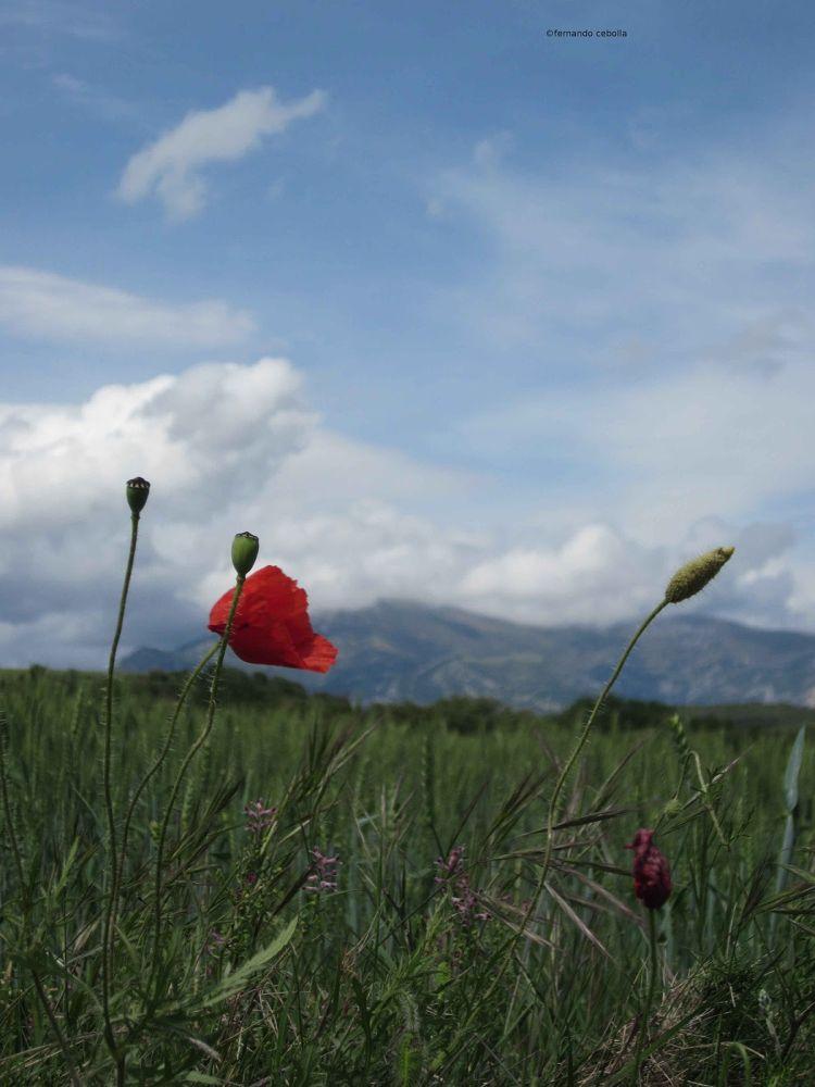 La flor de Guara... by Polidaschamineras