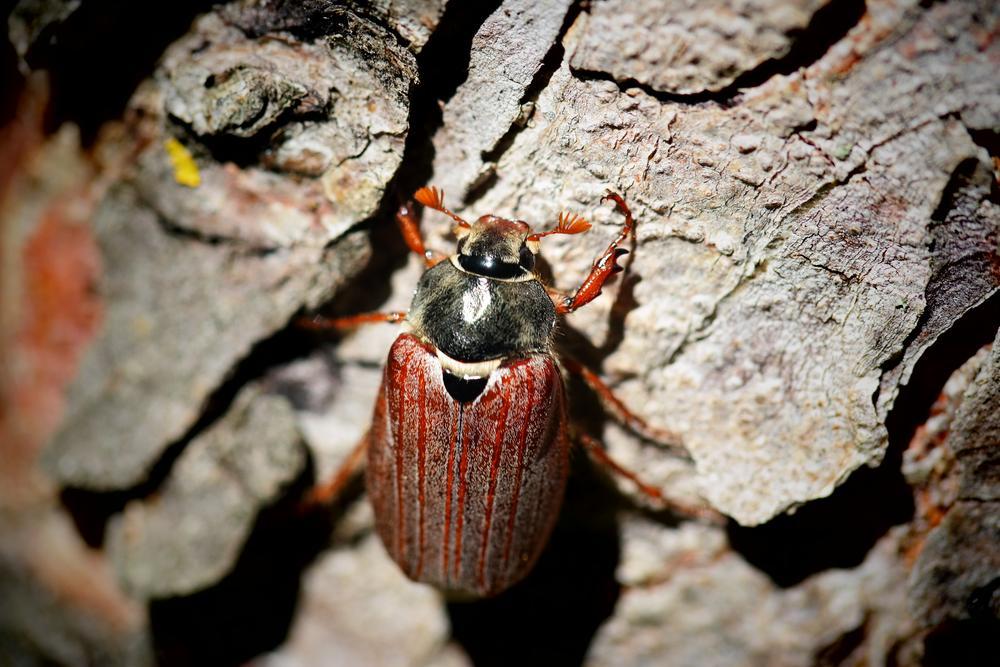 Photo in Nature #baum #käfer #beetle #cockchafer #maikäfer #insekten #nature #maikäfer #käfer #cokchafer