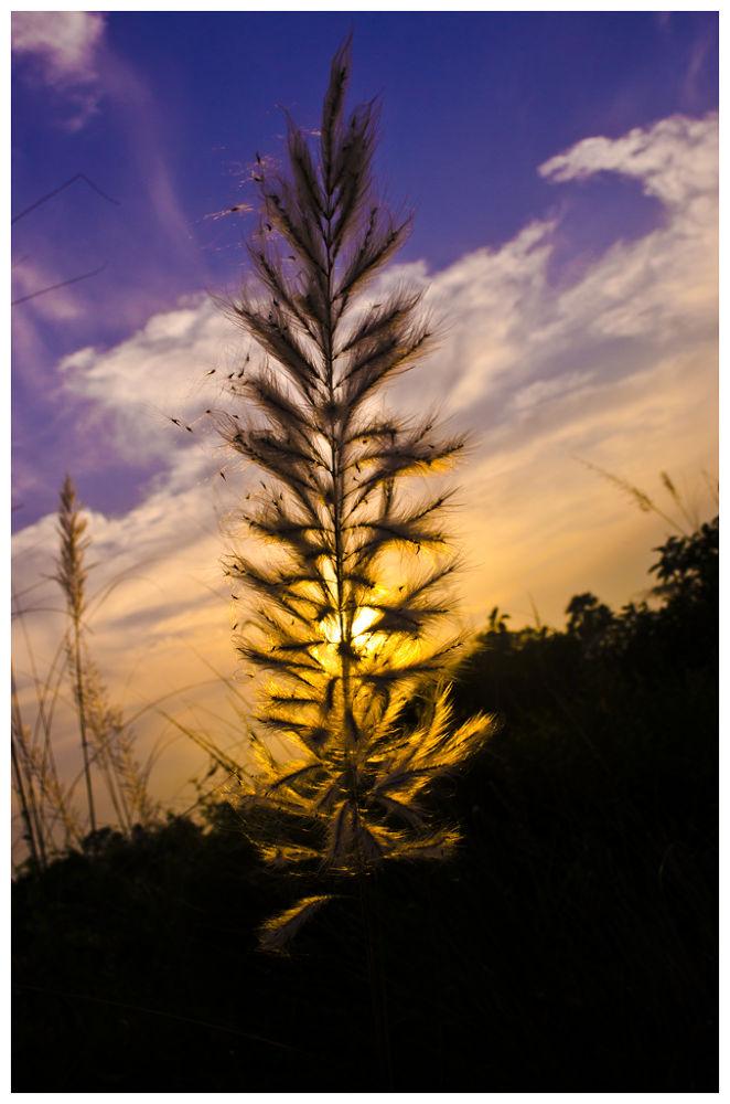 Photo in Nature #sunset #kash phool #golden sky #joydip roy #clear sky