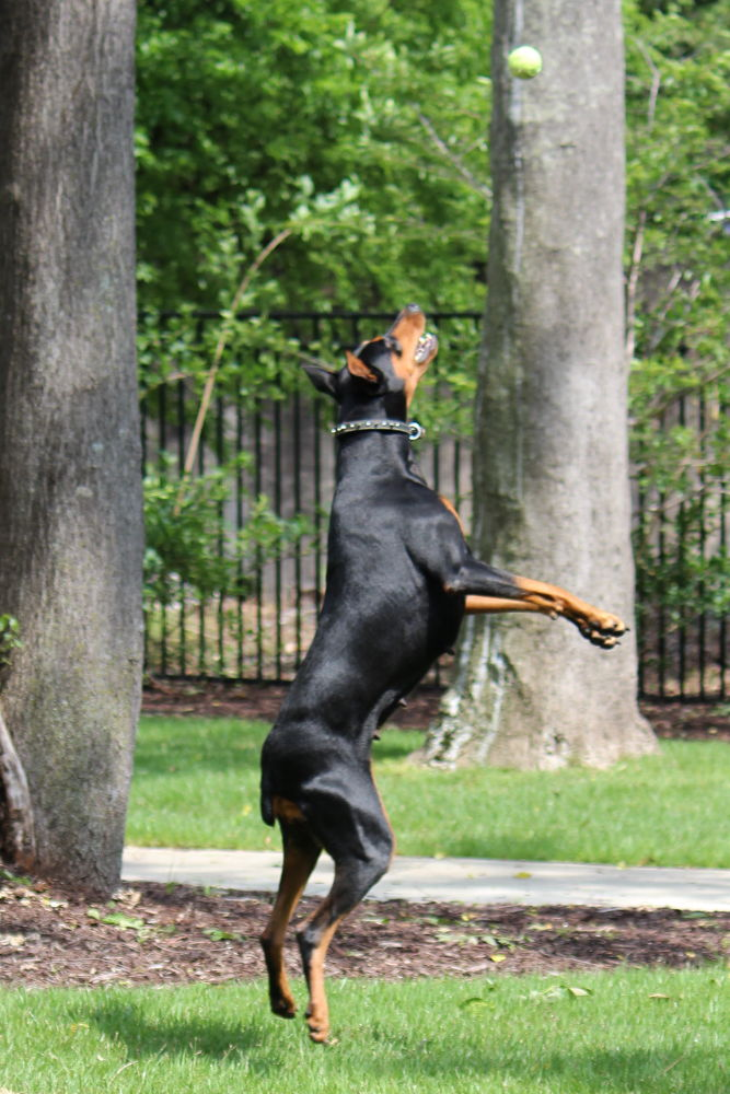Jumping Doberman by Brents Pepper