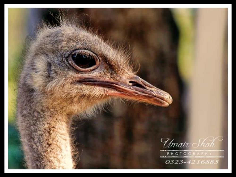Ostrich by Umairshah