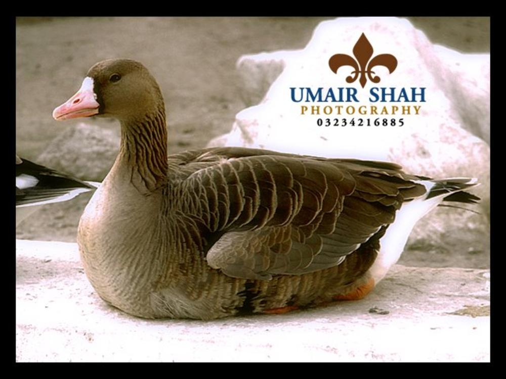 Duck by Umairshah