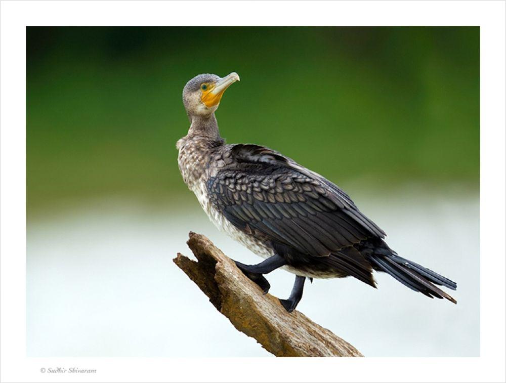 _67G0878-LargeCormorant by sudhirshivaram