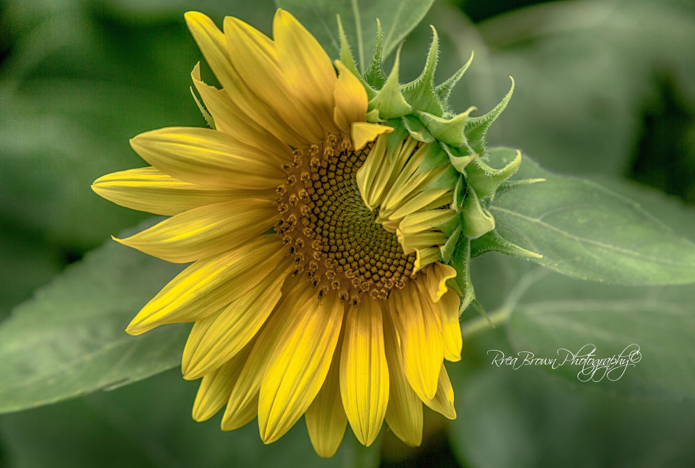 Shinning Yellow by Rrea Brown Photography