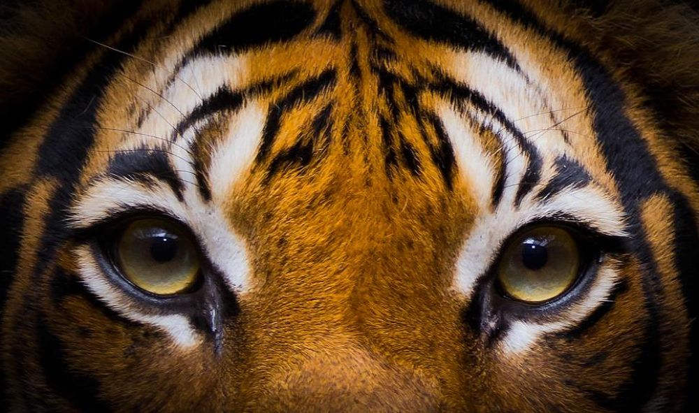 eye of the tiger by Lone Foto