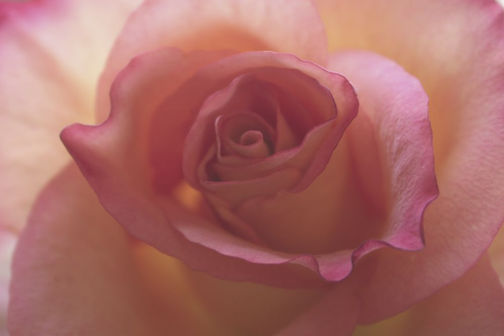 Rose by LucindaPricePhotography