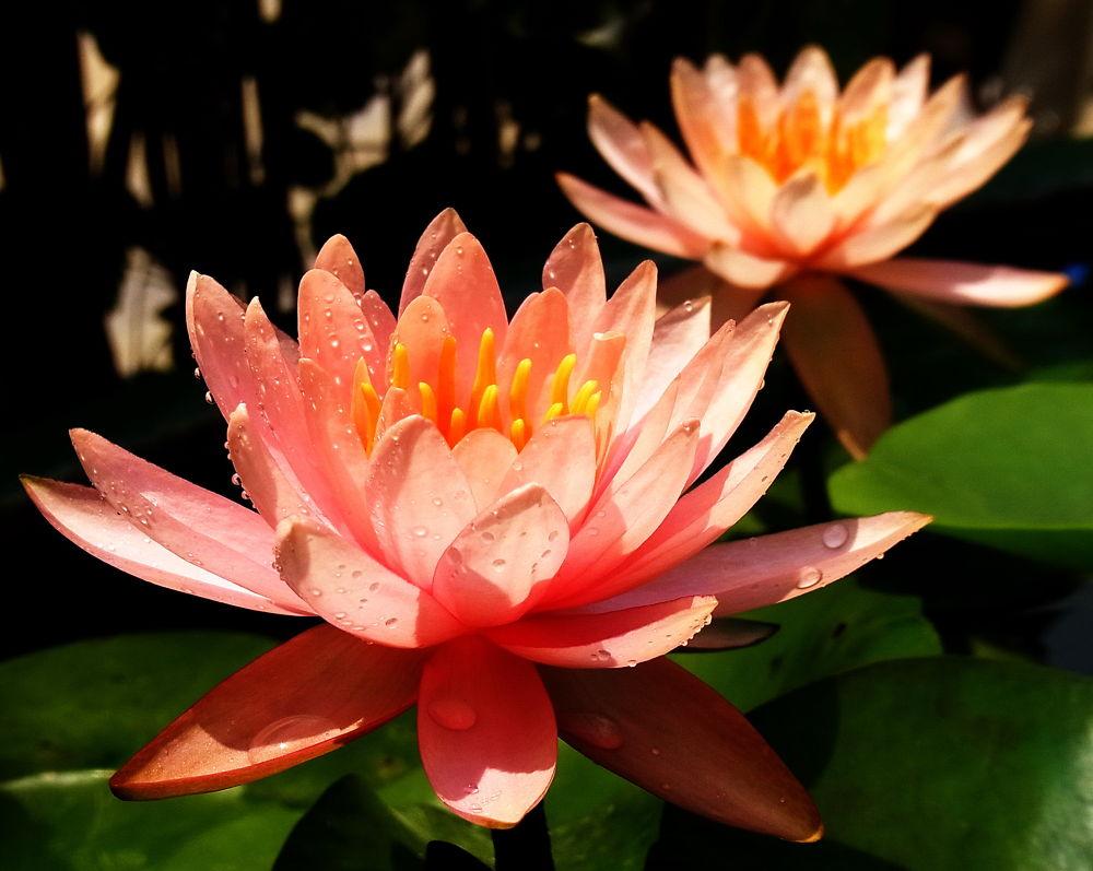 lotus by อมรรัตน์ ทองธุลี