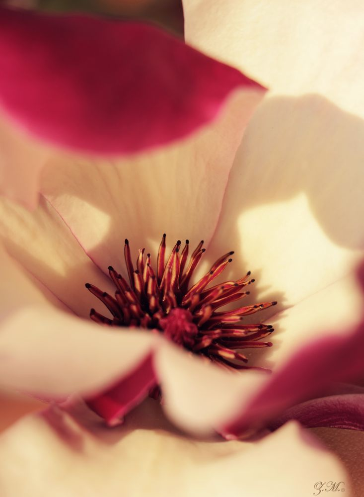 Pink Blossom Closeup by White Swan