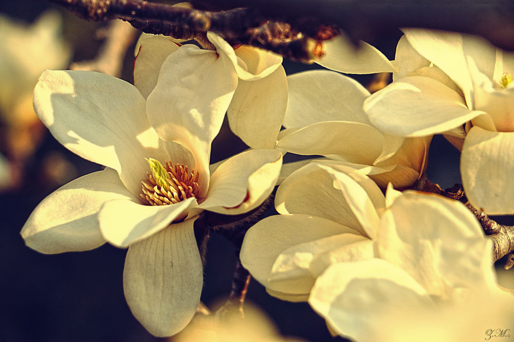 Spring Blossoms 3 by White Swan