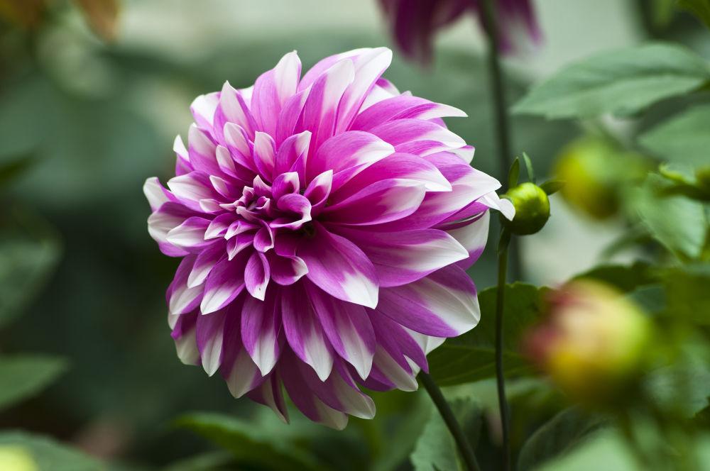 Pink Dahlia by prabirbsen