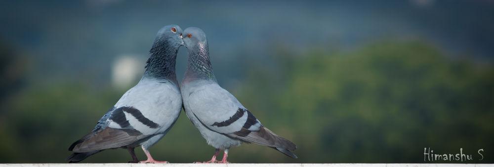 Love Birds by himshootz