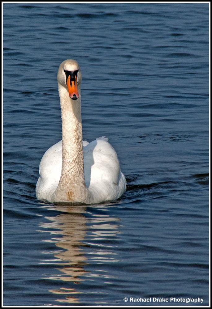 Swan by rachaeldrake3