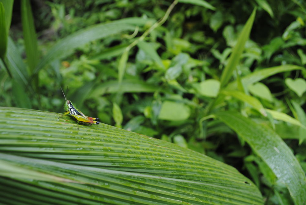 Grasshopper by PhotoDjo