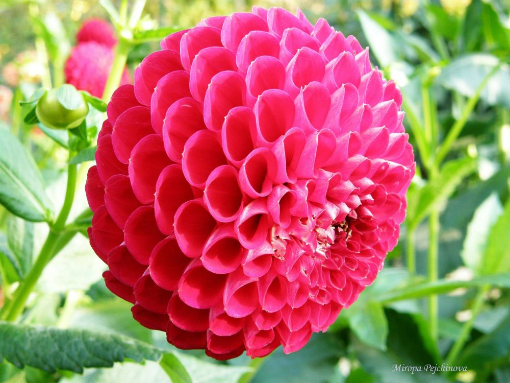 Dahlia by miropa