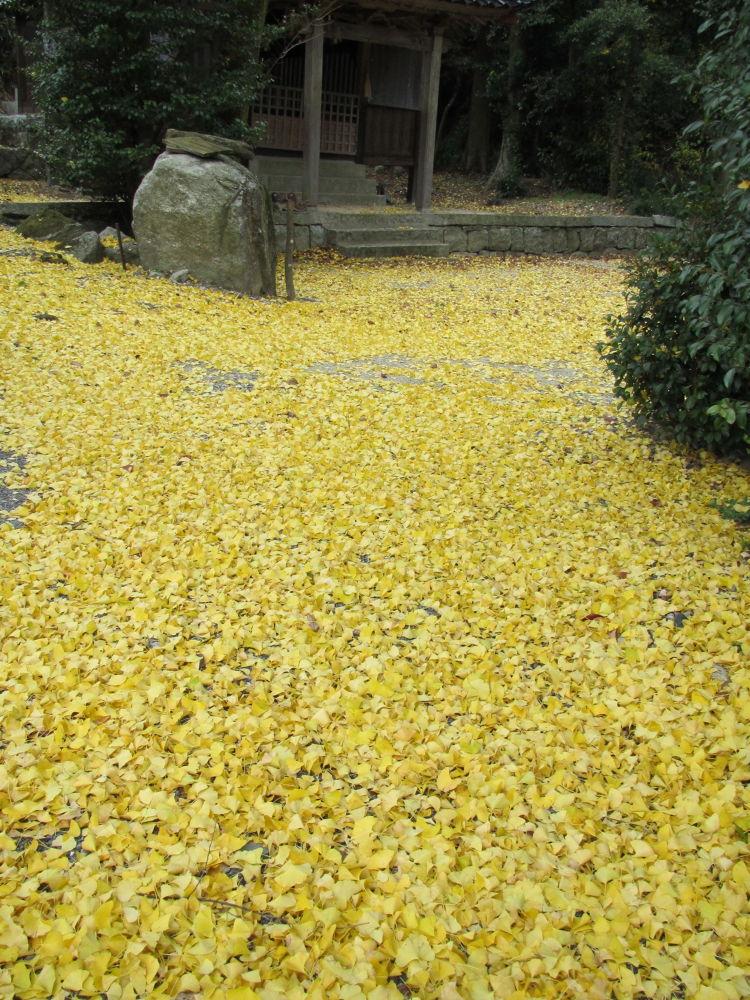 ginkgo leaves by Hiroshi_Kume