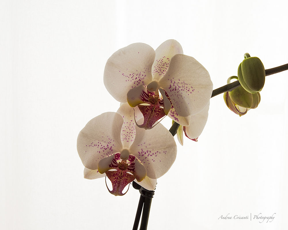 Orchids by andreacrisanti