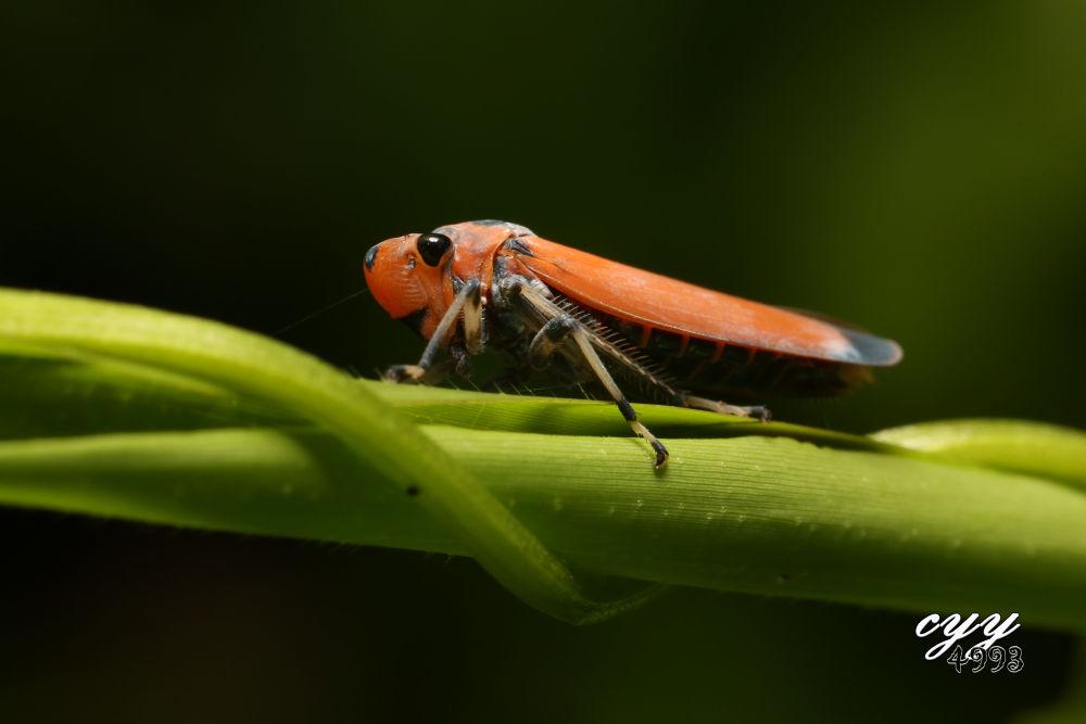 Orange Leafhopper [Cicadellidae] Bothrogonia Addita 叶蝉 by cyy4993