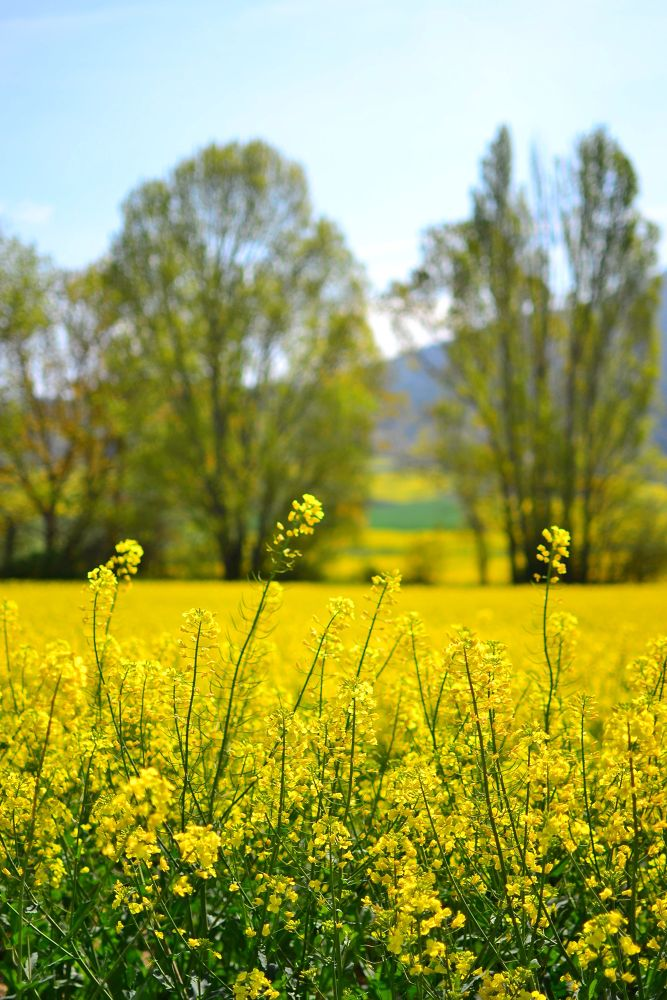 Yellow field (2) by Lee Russell Wilkes