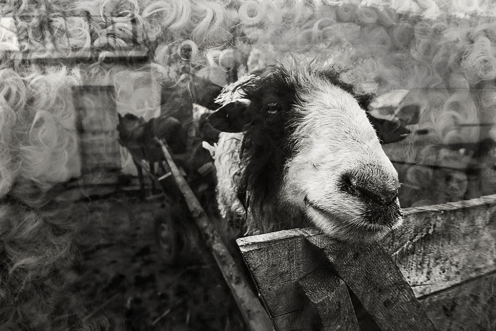 With sheep in cart by Rucsandra Calin
