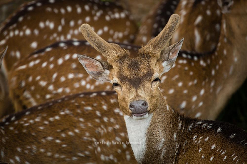 Deer Smiling.. by heribudianto