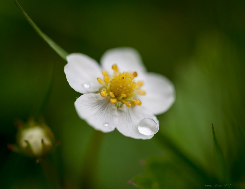 wild strawbberry flower by birhav