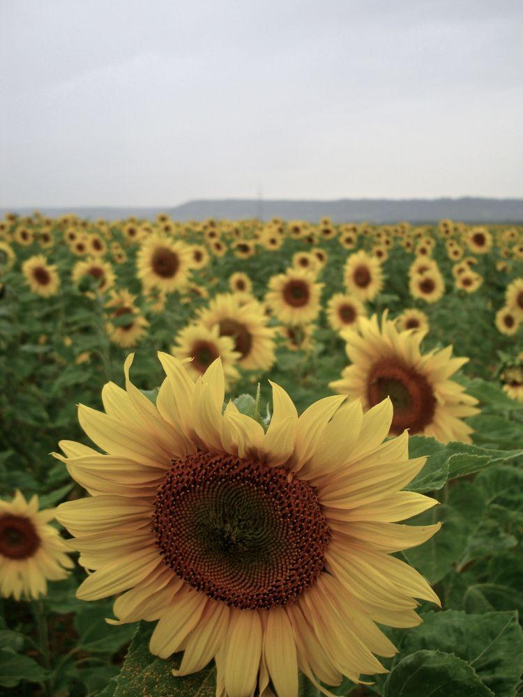 Sun Flower Fields  by Sofia Saenz