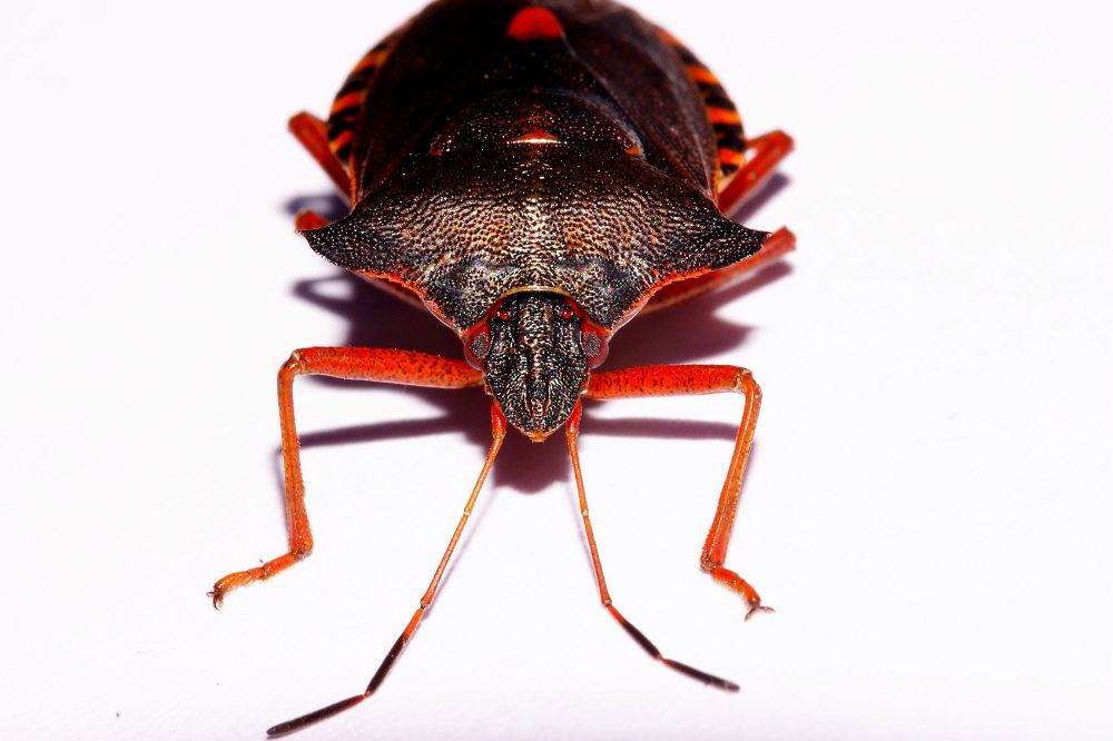 DSC00751-Heteroptera-Pentatomidae-Pentatoma rufipes-Uhata rusonožka by lema