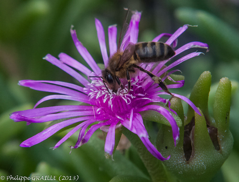 Bee by Philippe Graille