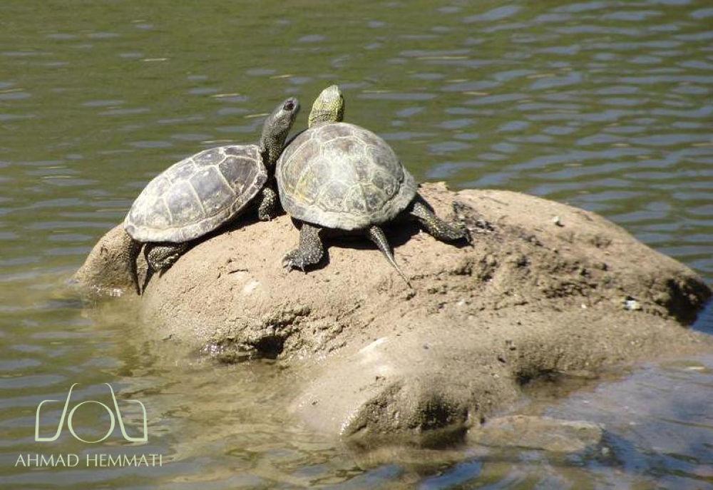 Lover turtles by Ahmad Hemmati