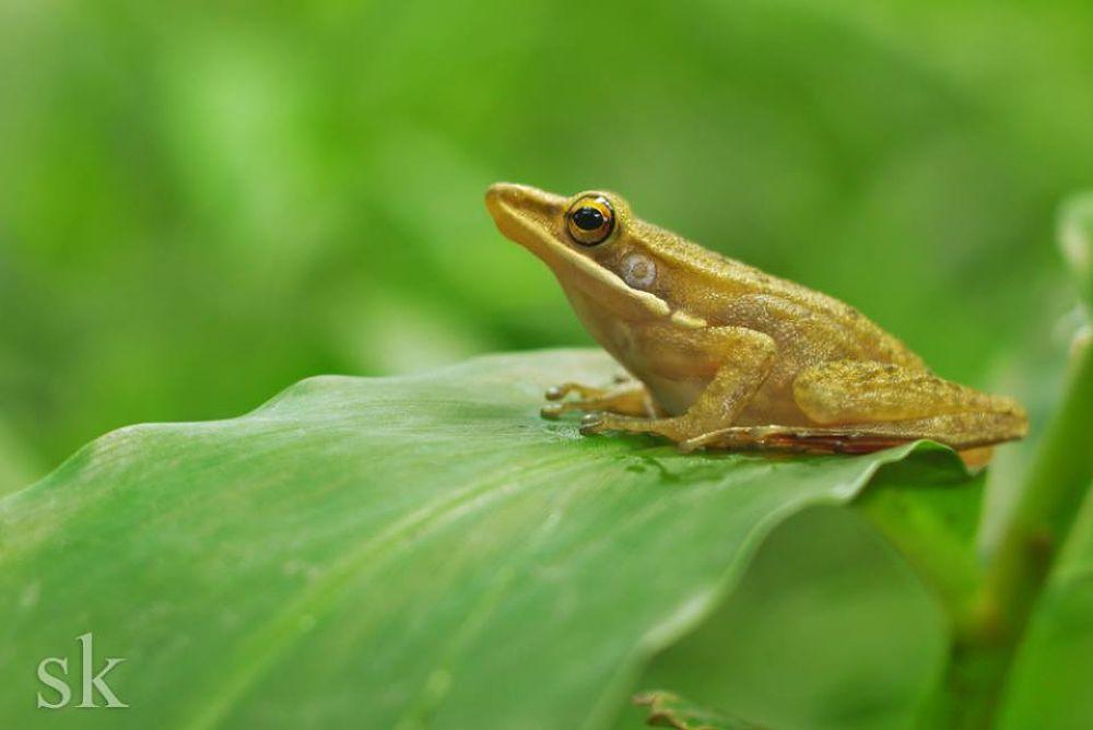 frog (natural pose) by SoniKurniawan