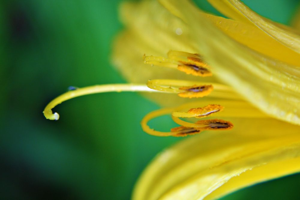 Day Lily by sweetcreations