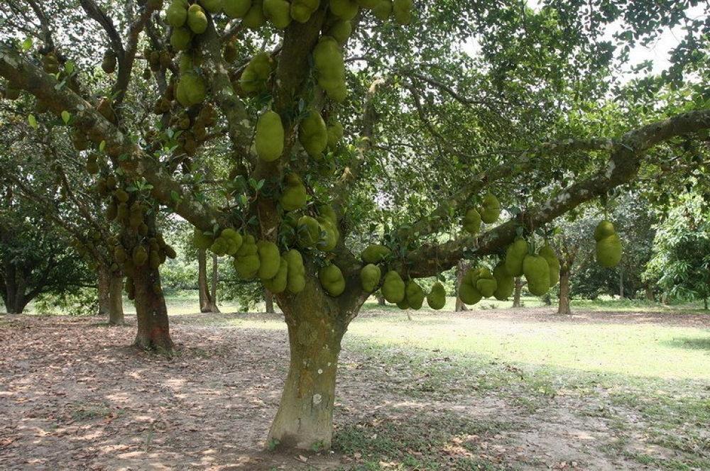 59. A FRUIT TREE.jpg by ShyamalKBanik