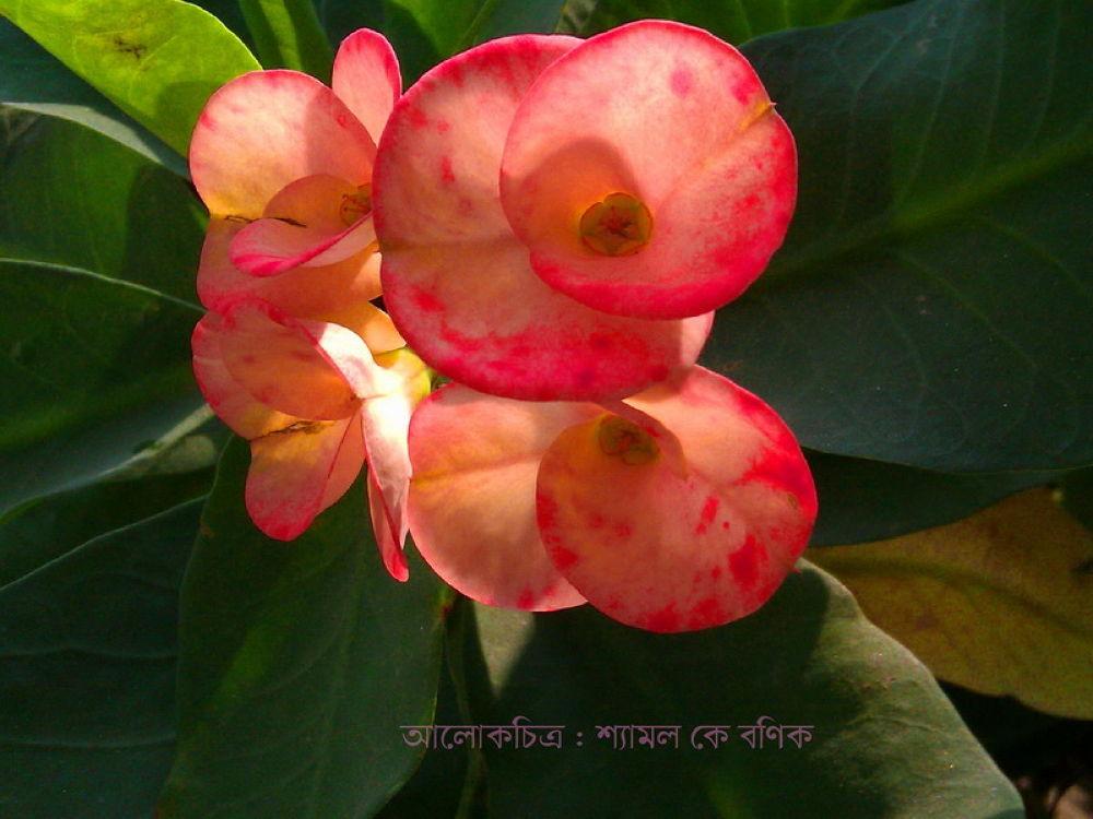97.BEAUTY -  CACTUS FLOWER.jpg by ShyamalKBanik