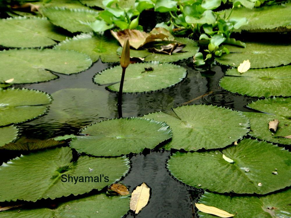 WATER LILY .jpg by ShyamalKBanik