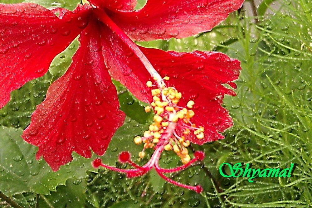 SKB-2013-00034[ RED SPECIES OF CHAINA ROSE ] by ShyamalKBanik
