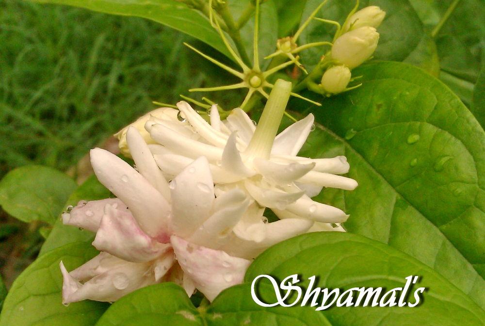 IMAG0110-IMG-SKB----FLOWER by ShyamalKBanik