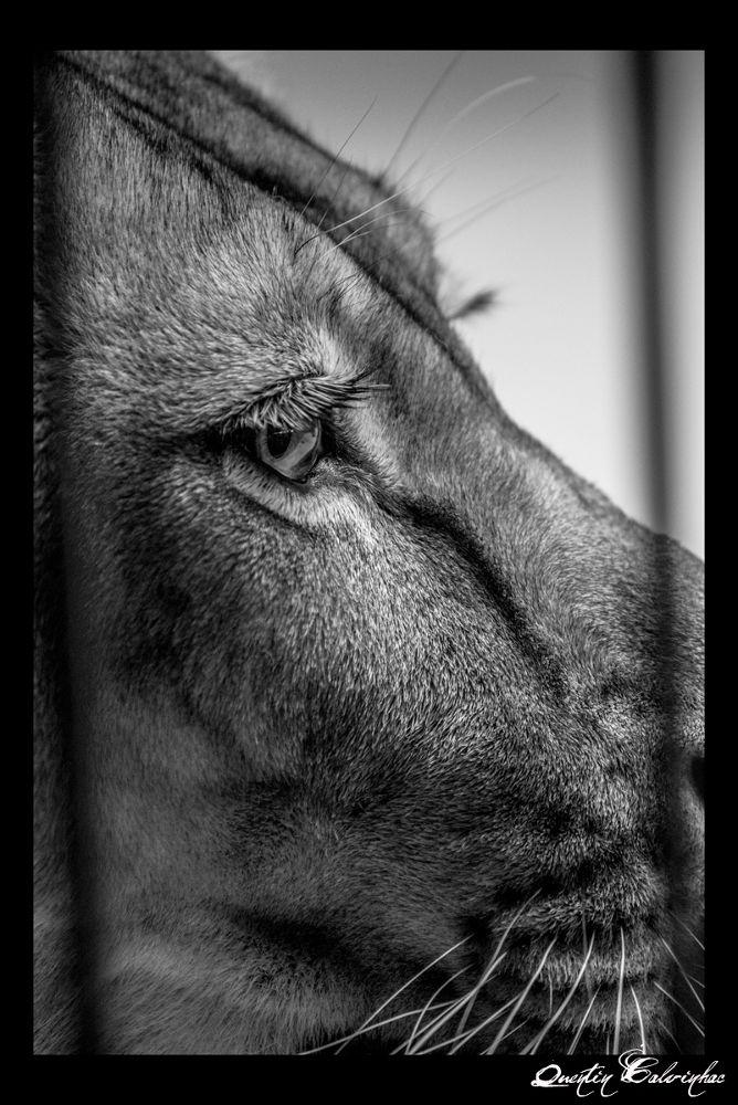 lion's eye by quentin calvinhac