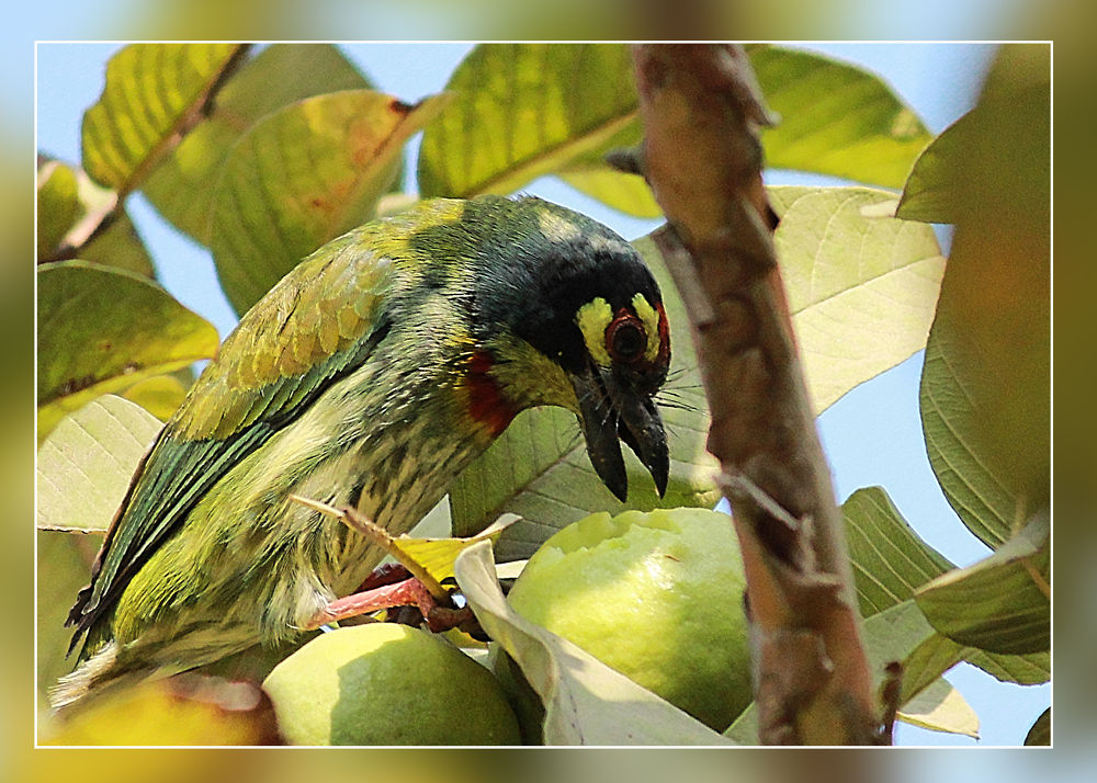 Coppersmith barbet by partharoy1779
