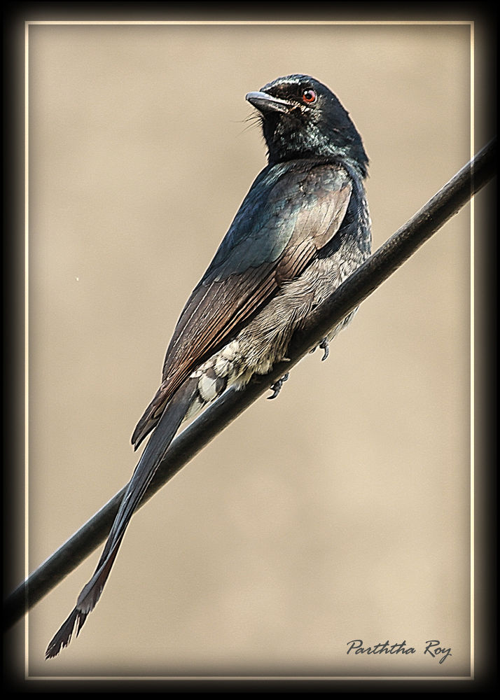 Black Drongo by partharoy1779