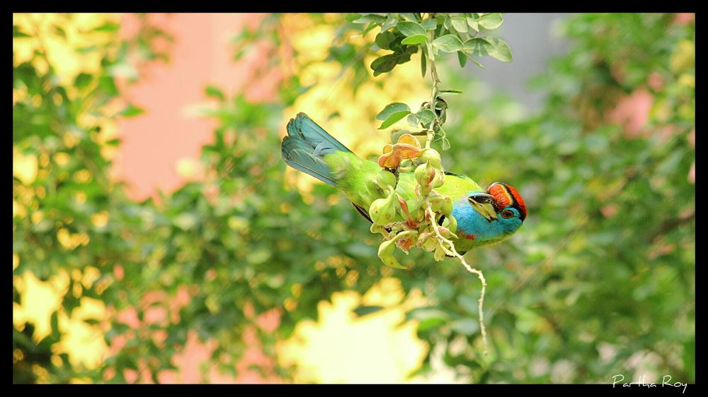 Blue Throated Barbet by partharoy1779