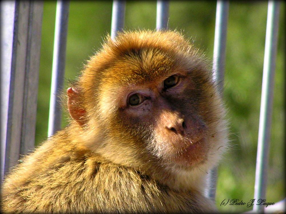 La mirada del macaco by Pedro J. Luque González