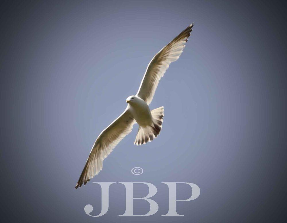 Seagull by Joe Butler