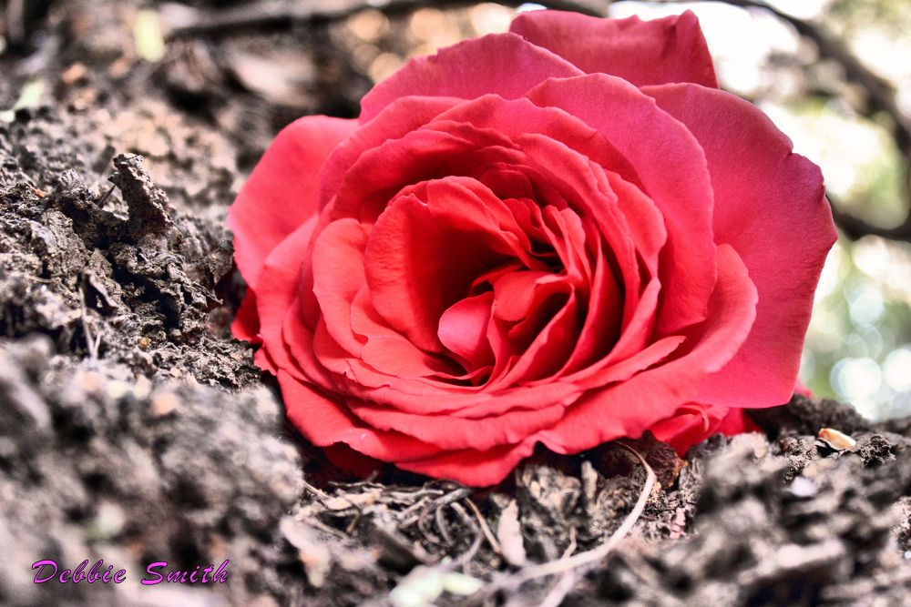 Red Rose  by Debbie Smith