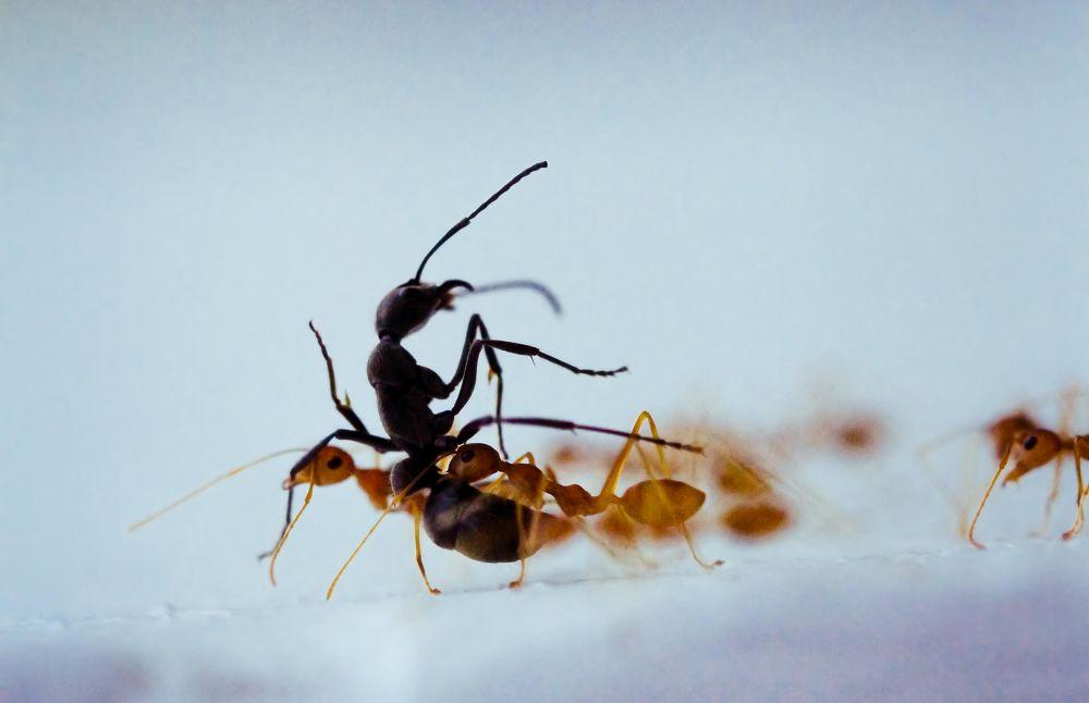 killer ants by manoj veerakumar