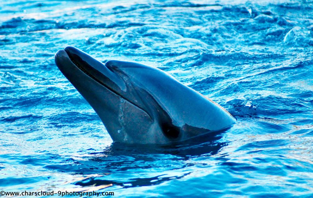 Dolphin   by CharsCloud9Photography