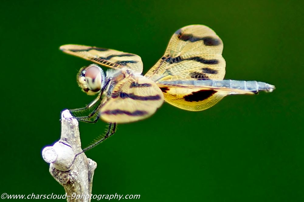 Dragonfly by CharsCloud9Photography