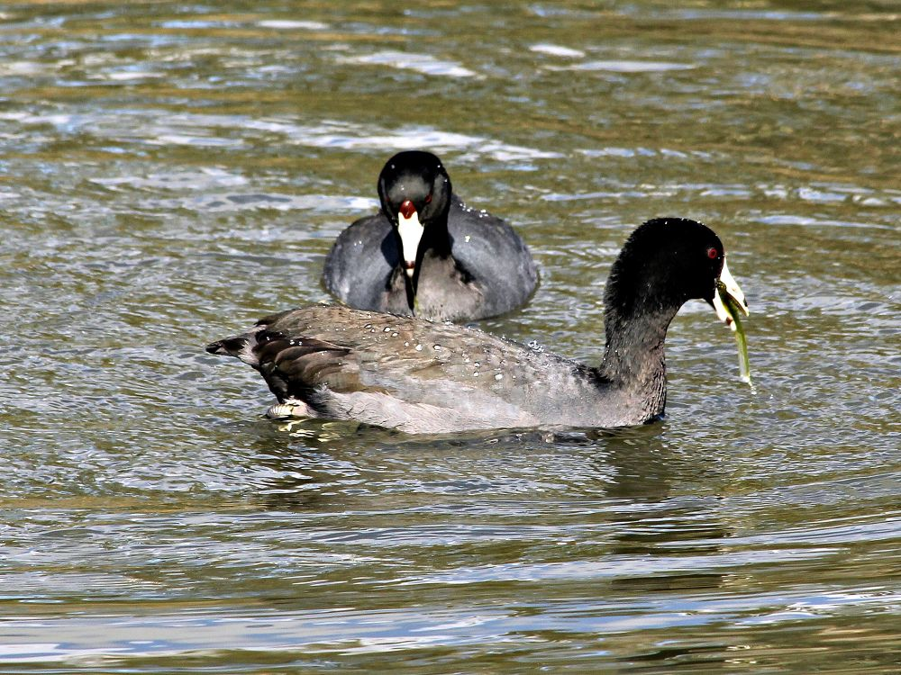 American Coots by karmel